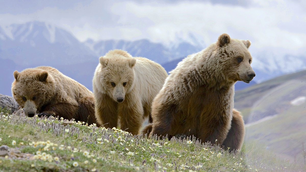Medvěd grizzly v Národním parku Denali | © Gregory Slobirdr Smith