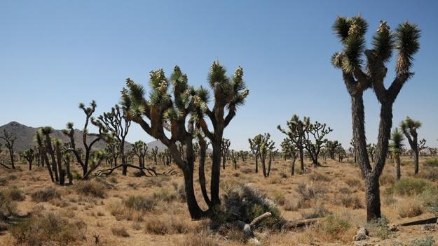 Juka krátkolistá - Yucca brevifolia | © Tscherno