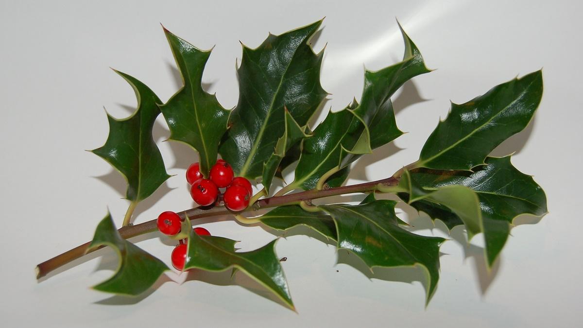 Vánoční cesmína (anglicky Holly) | © Dean (leu) . / Flickr.com